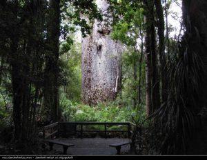 Te Matua Ngahere, Waipoua Forest Reserve